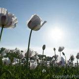 17.1056 Durweston Poppies