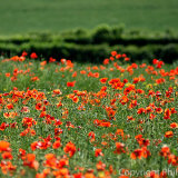 17.5705 Poppy Field
