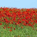 17.5701  Poppies in Rape