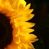 171761  Sunflower