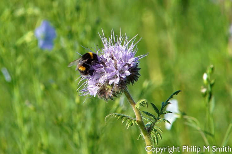 185594 Bee on Phacelia