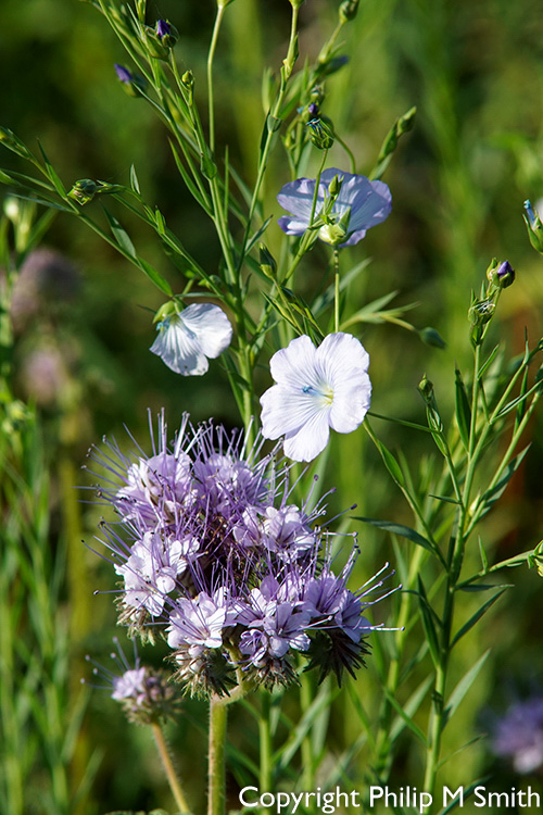 185620 Phacelia and Linseed