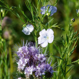 Phacelia and Linseed