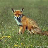 176267 Fox