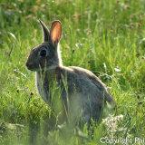 176274 Rabbit