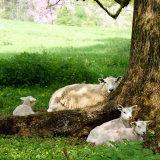 17.0404 Triplets under a Tree