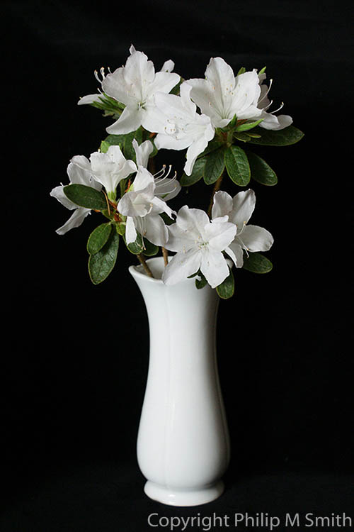 17.5447 White Rhododendron