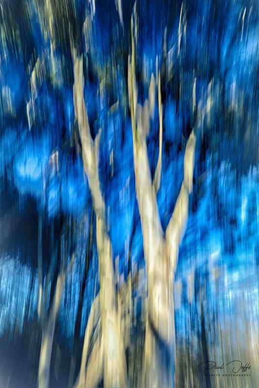 Abstract Eucalyptus Trees