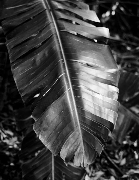 Banana leaf, Gladesville, NSW