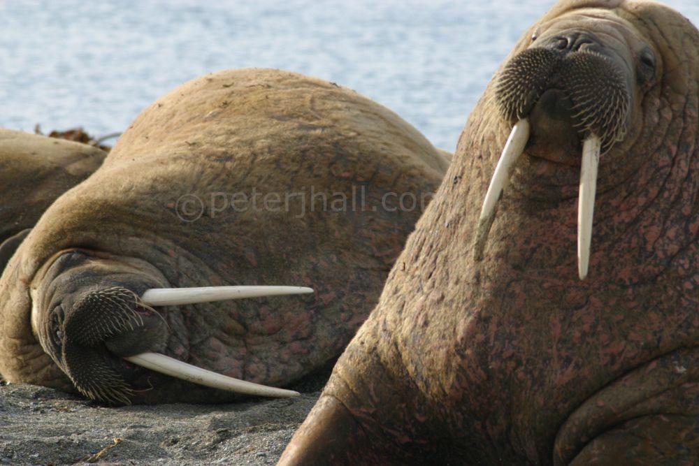 Walrus at Poolepyten, Karls Forland, Spitzbergen