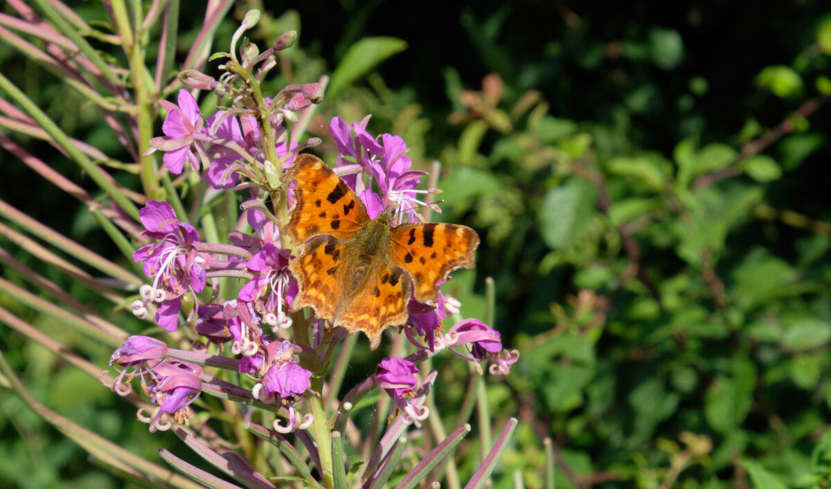 Butterfly on Canalside Plant
