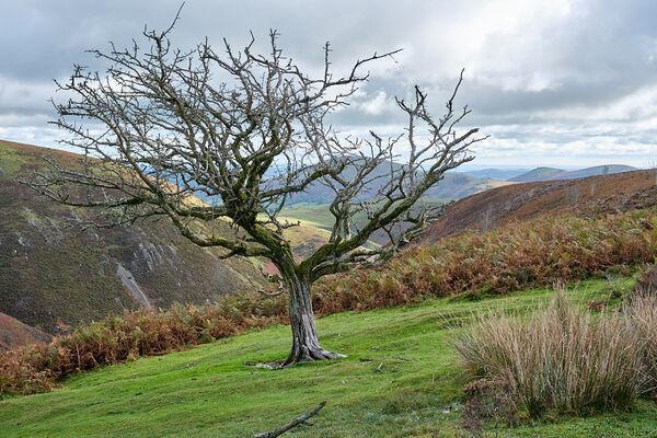 Lone Tree on Long Mynd
