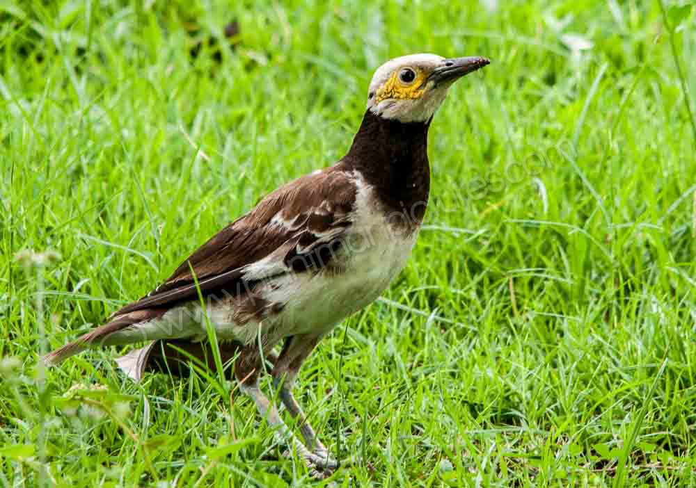 Black Collared Starling
