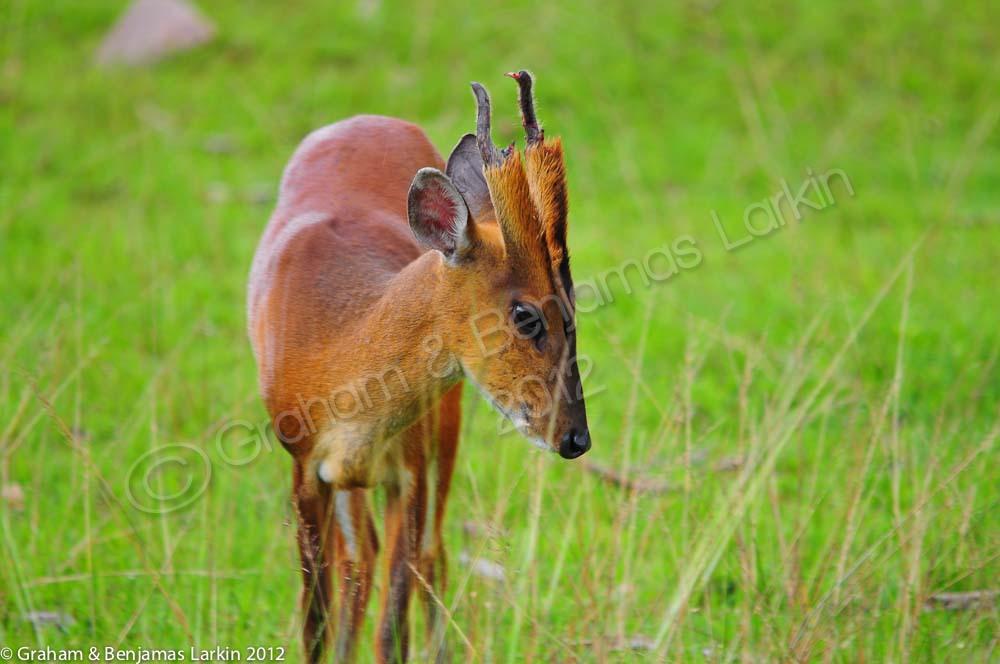 Barking Deer   khao yai