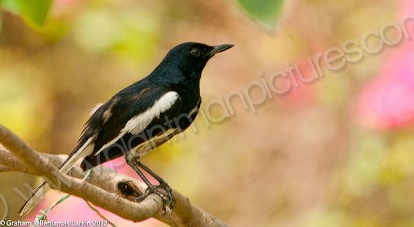 Oriental  Magpie - Robin
