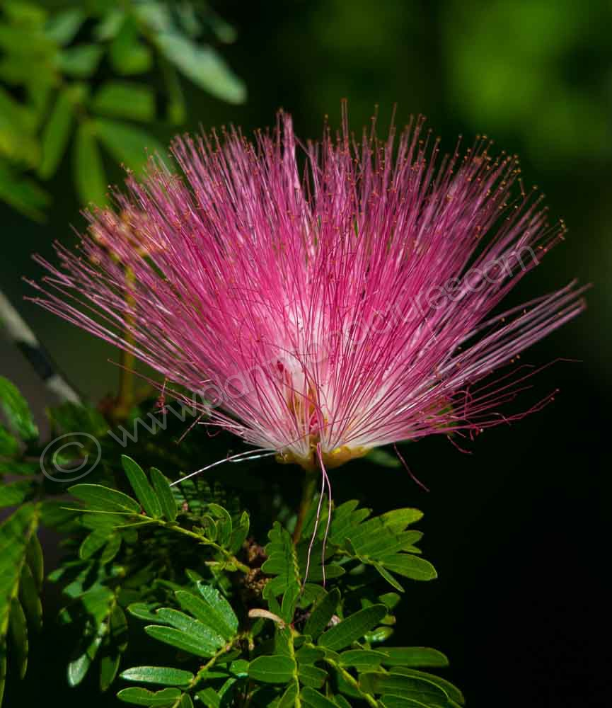 The Powder Puff flower