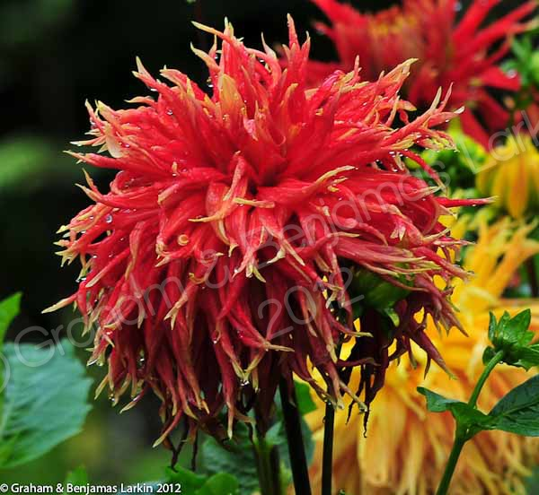 Red Dhalia Flower Doi Tung
