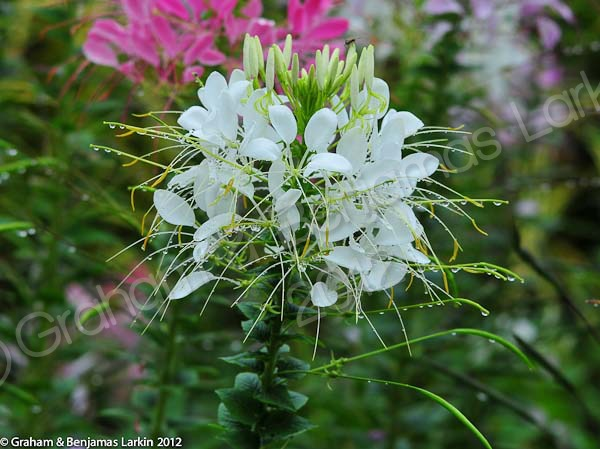 Flower  Doi Tung