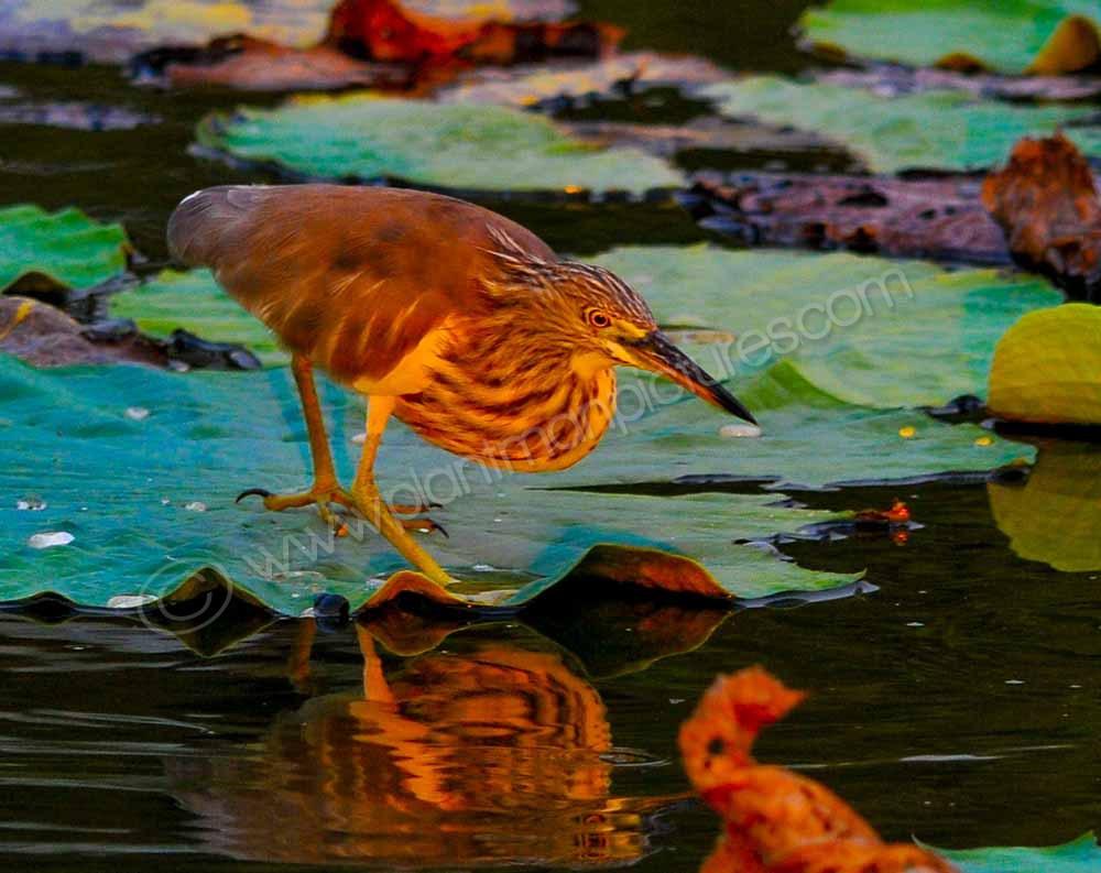 Chinese Green Pond Heron