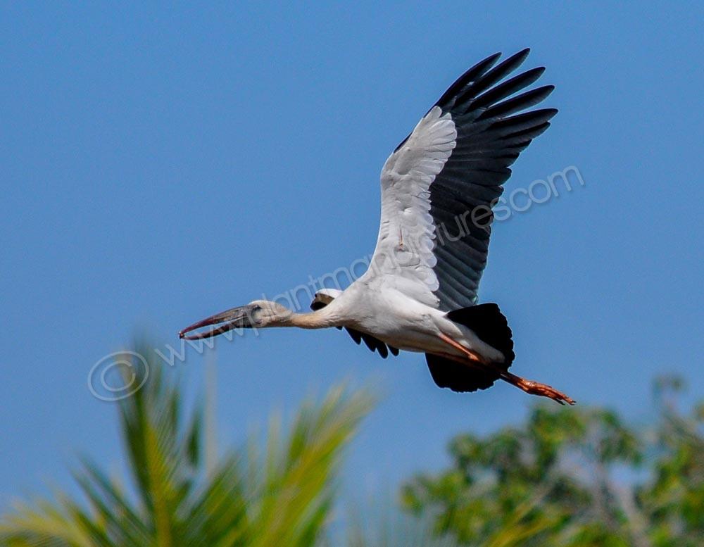Open billed stork  in flight