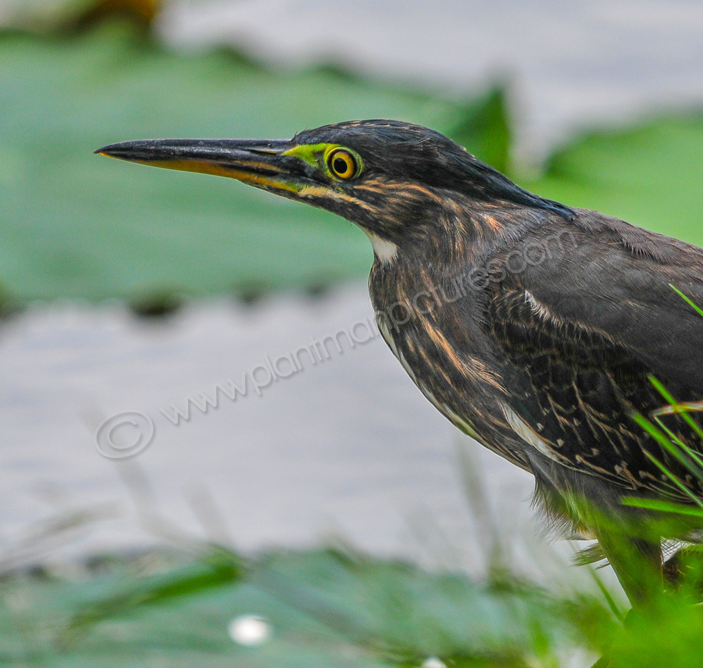 The Little Heron
