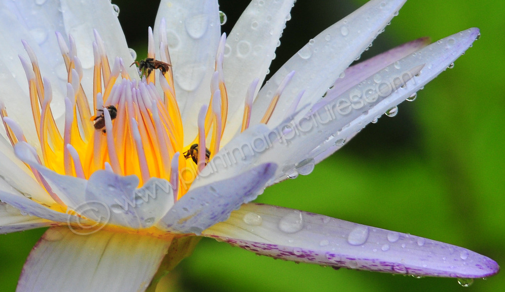 Lotus Flower and and Insects