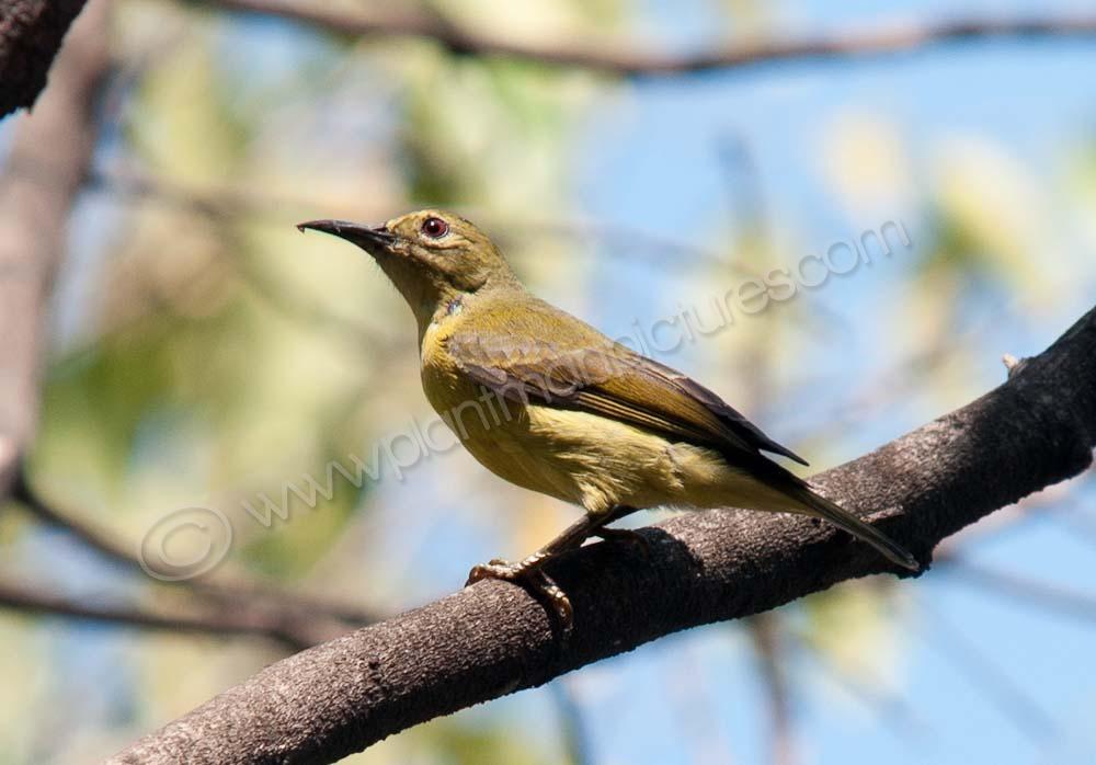 Brown throated  Sunbird ( Female )