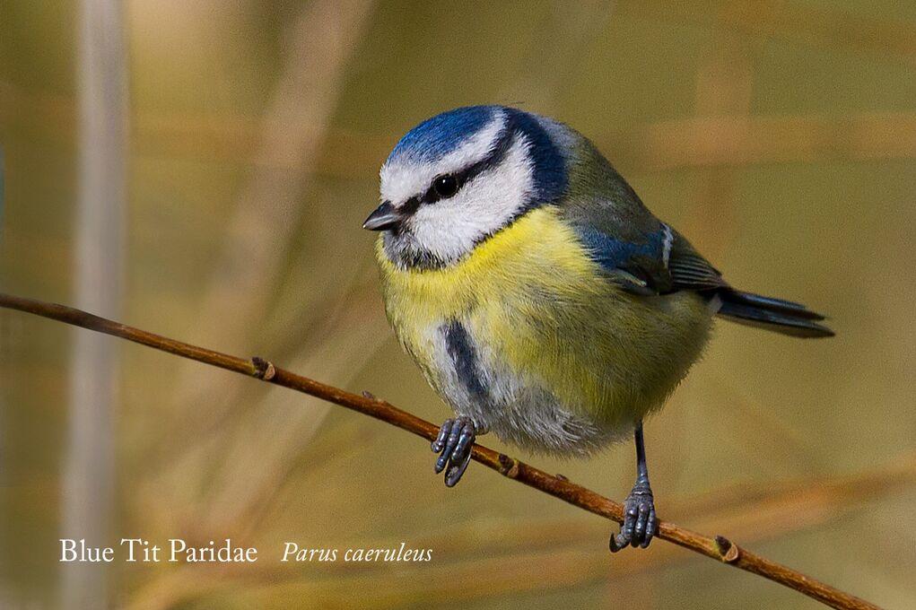 Blue_Tit_Paridae_Parus_caeruleus