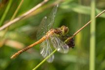Ruddy Darter (Female) Sympetrum sanguineum