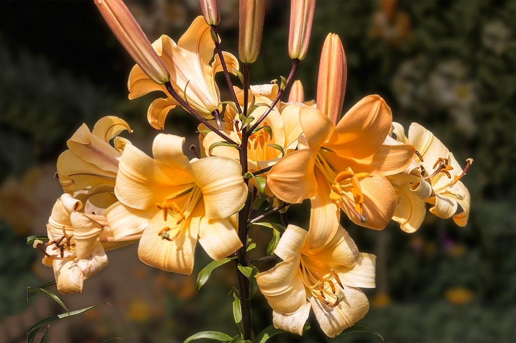Lillies Felbrigg