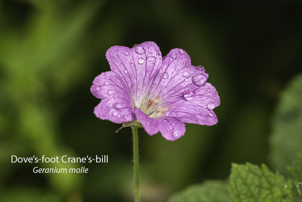 Doves foot Cranes bill Geranium molle