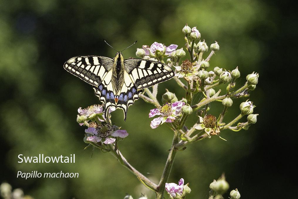 Swallowtail Papillo machaon