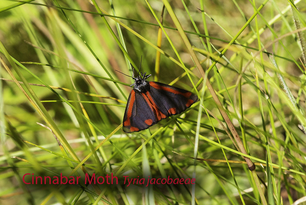 Cinnabar Moth Tyria jacobaeae