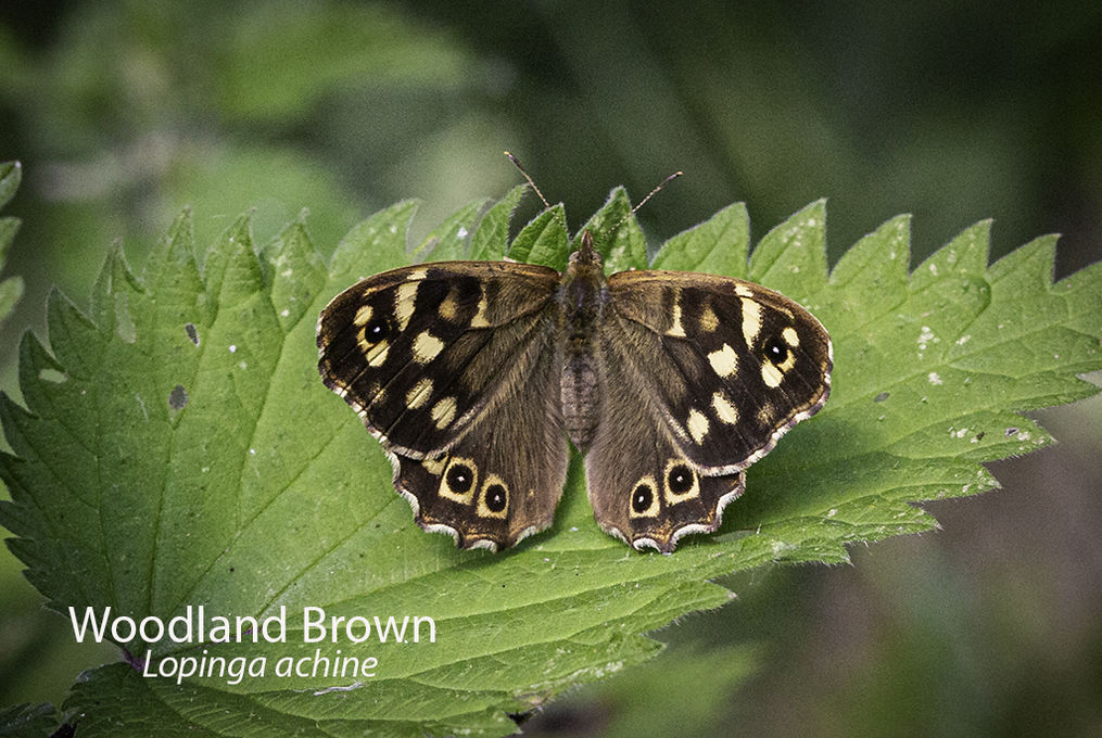 Woodland Brown Lopinga achine