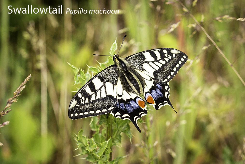 .Swallowtail