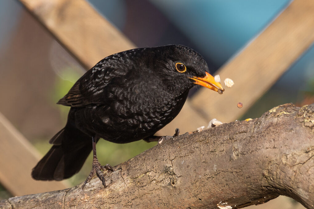 Blackbird_male_Turdis_menula