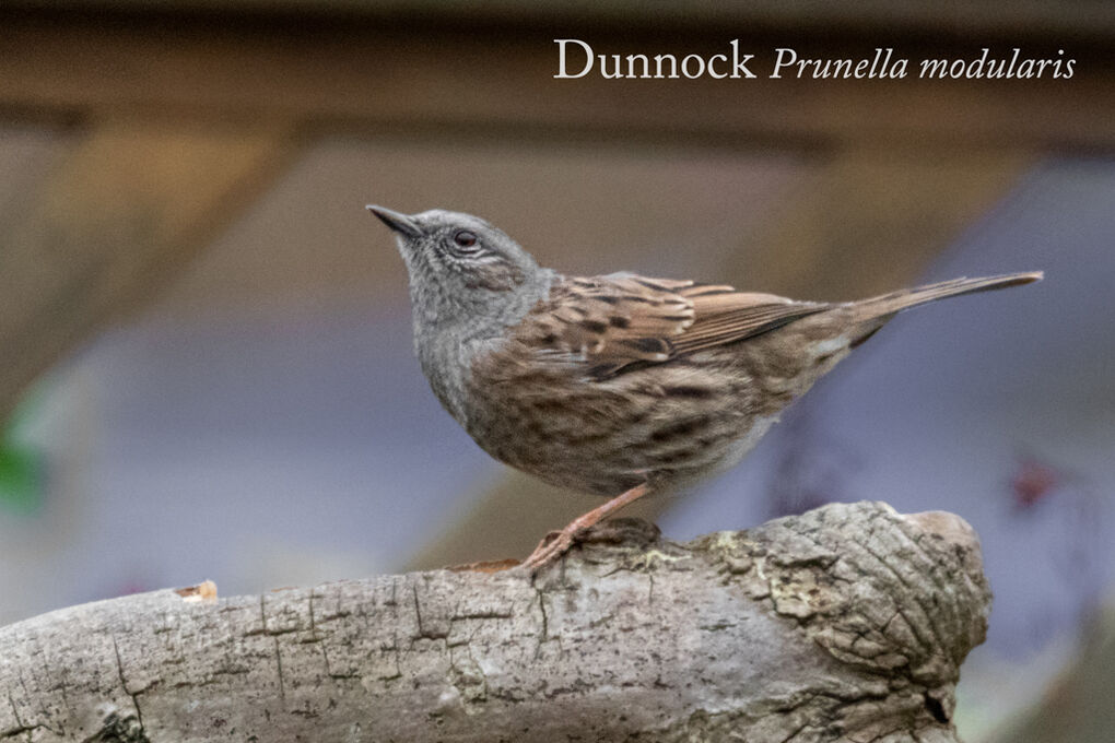 Dunnock Prunella modularis-Edit