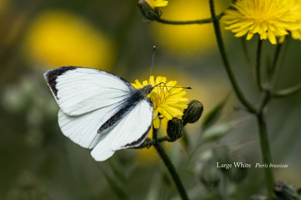 Large White Pieris brassicae