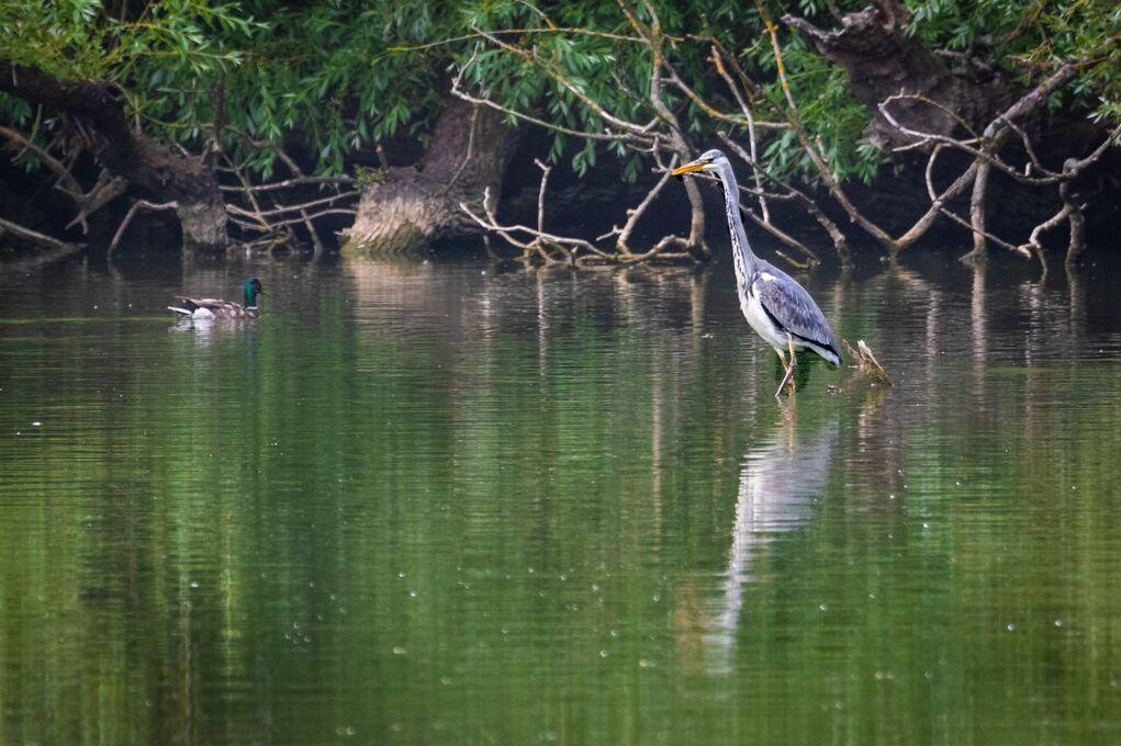 Grey Heron Ardea cinera