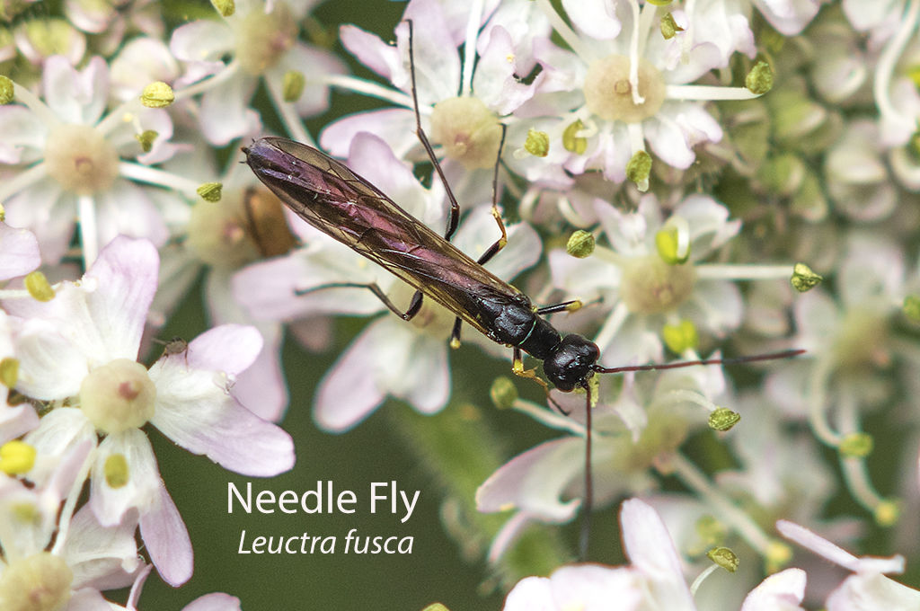 Needle Fly Leuctra fusca