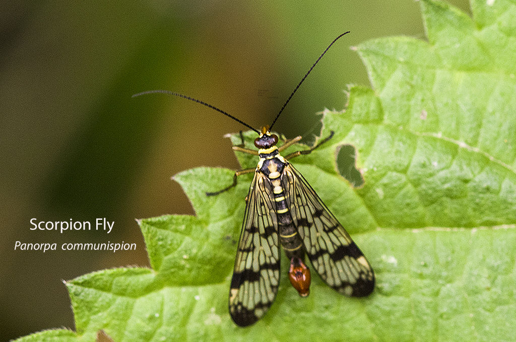 Scorpion Fly Panorpa communispion