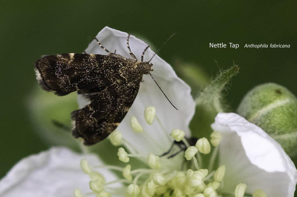 Nettle Tap Anthophila fabricana
