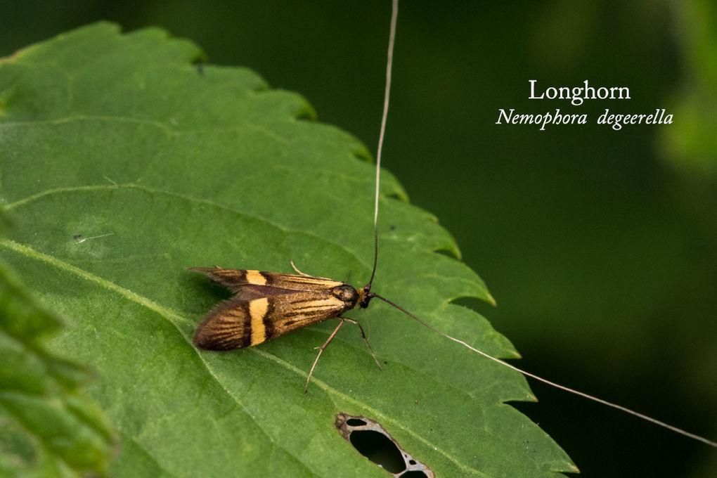 Longhorn Nemophora degeerella