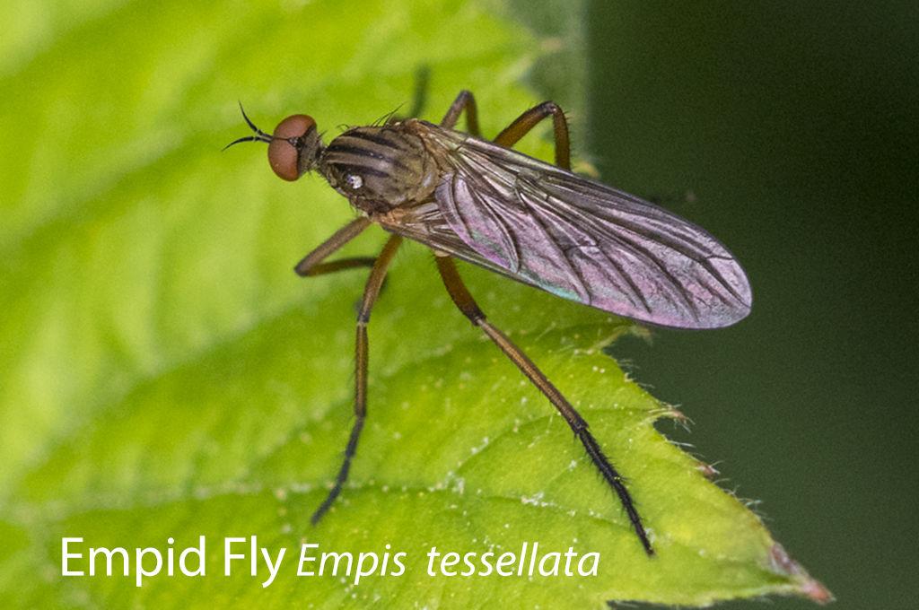 Empid Fly Empis tessellata