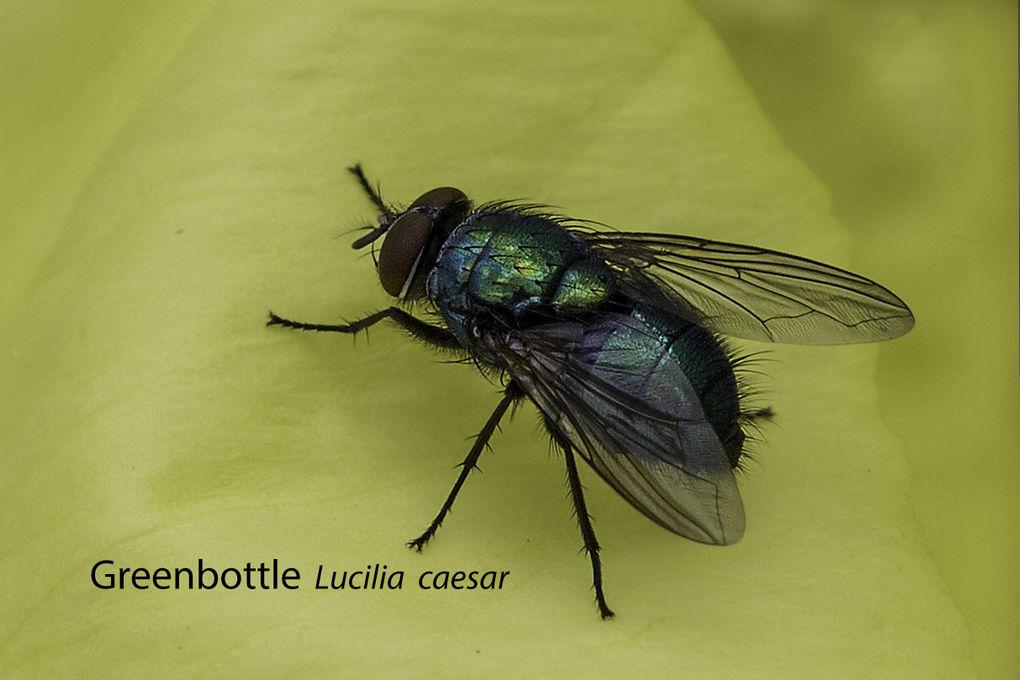 Greenbottle Lucilia caesar