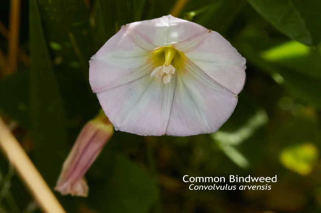 Common Bindweed Convolvulus arvensis