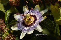 Common Passion Flower Passiflora caerulea