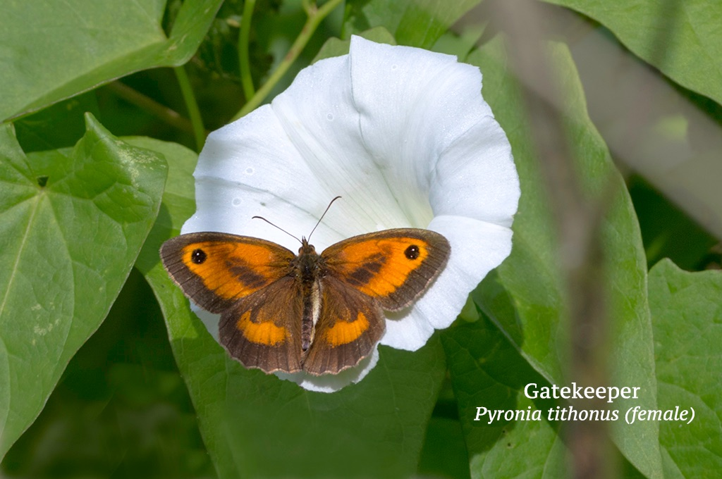 Gatekeeper Pyronia tithonus (female)