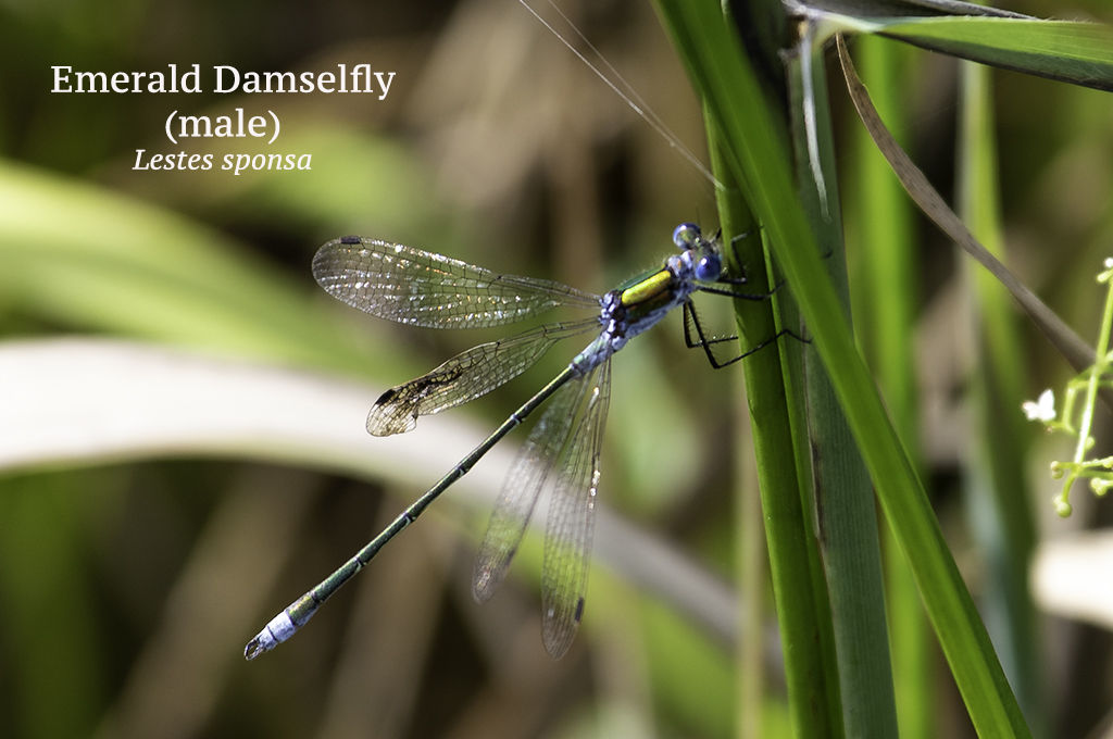 Emerald Damselfly male Lestes sponsa
