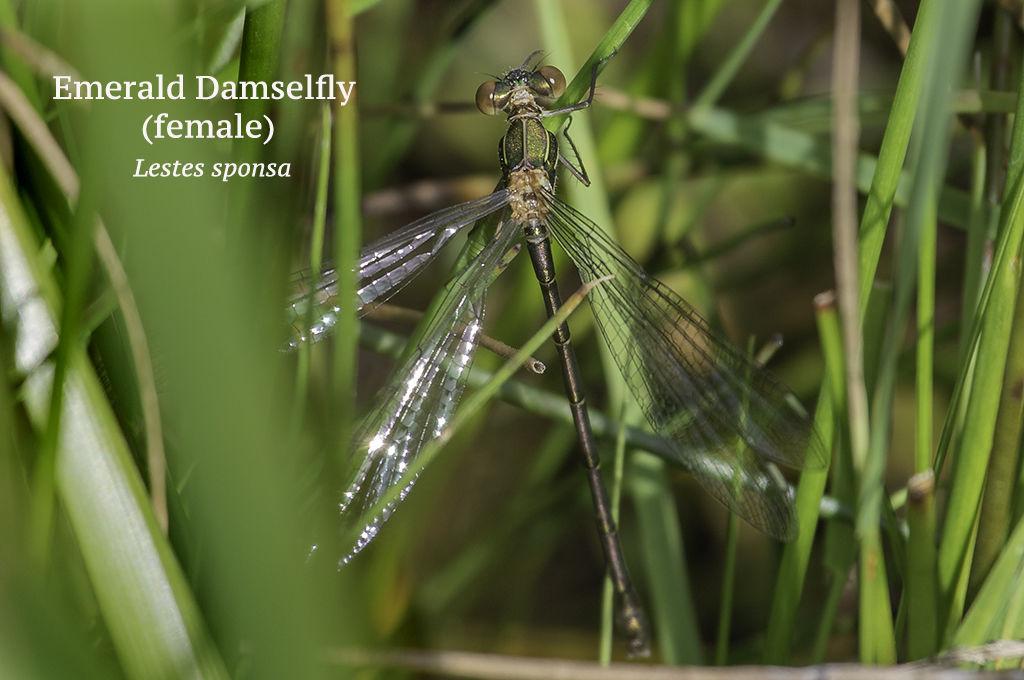 Emerald Damselfly female Lestes sponsa